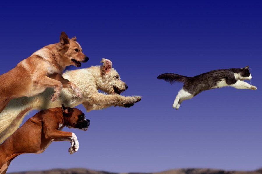 cani inseguono gatto