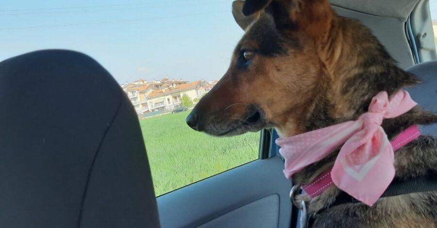 cagnolina osserva dal finestrino