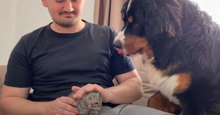 Bovaro del Bernese che guarda un gattino