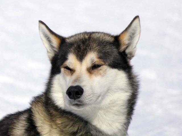 Husky con occhi socchiusi