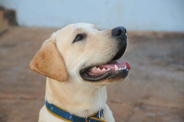 Labrador che guarda in alto