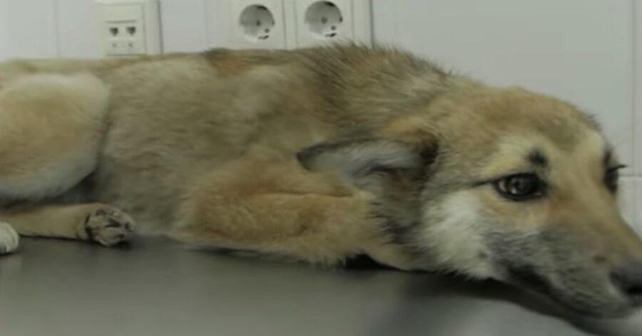 cagnolina salvata dai volontari in Russia
