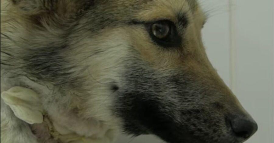 cane maltrattato primo piano