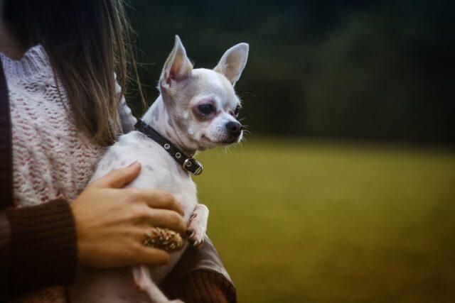 Chihuahua anziano adottato