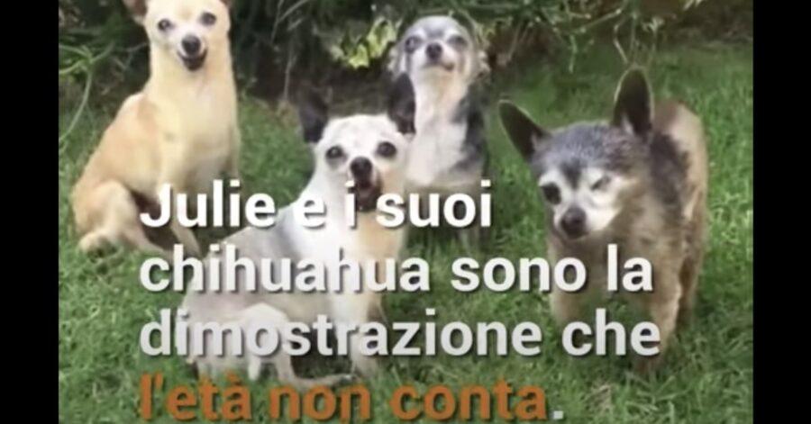 Chihuahua adottati da una ragazza in California