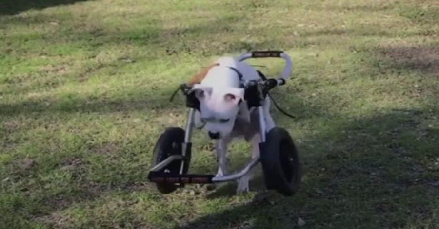 cane senza zampe in sedia a rotelle