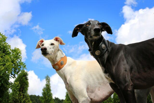 Due Greyhound, uno bianco e uno nero