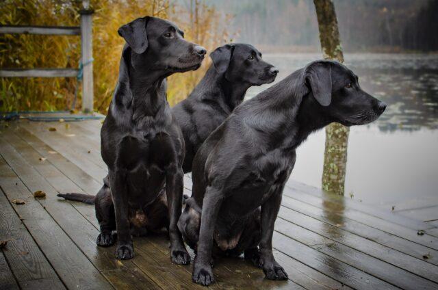 tre cani neri vicino a un fiume