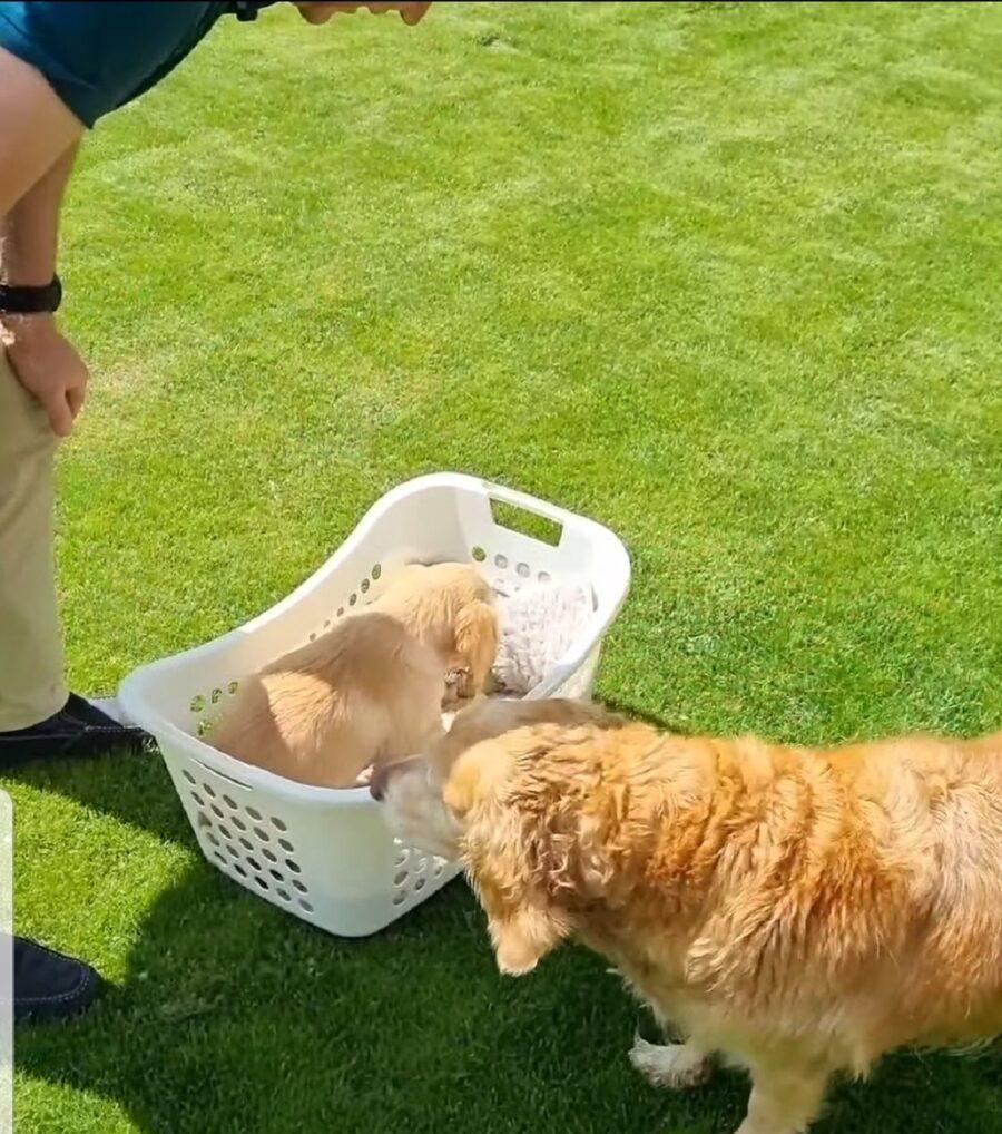 primo incontro tra cane e cucciolo