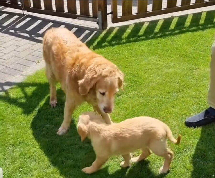 incontro tra cucciolo e cane