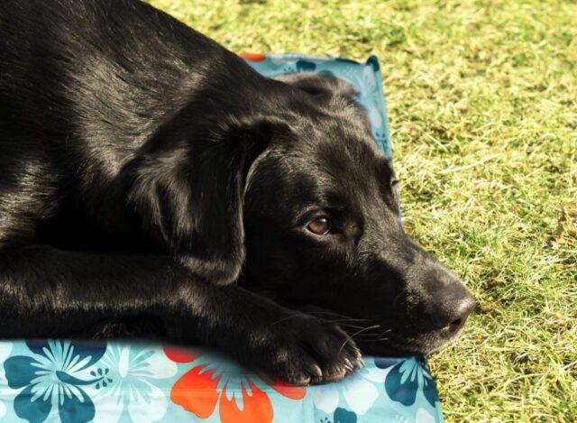 cuscino rinfrescante per cane in giardino