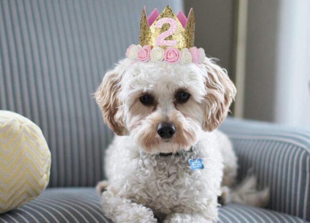 cane come un re