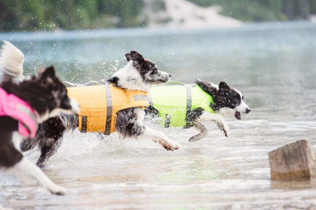 cani con giubbotto di salvataggio