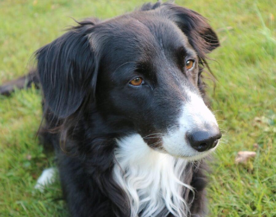 cane border collie sguardo certo
