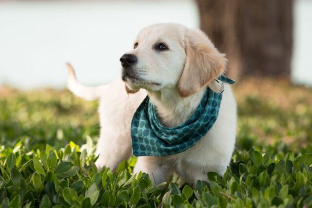 cane con la bandana al collo