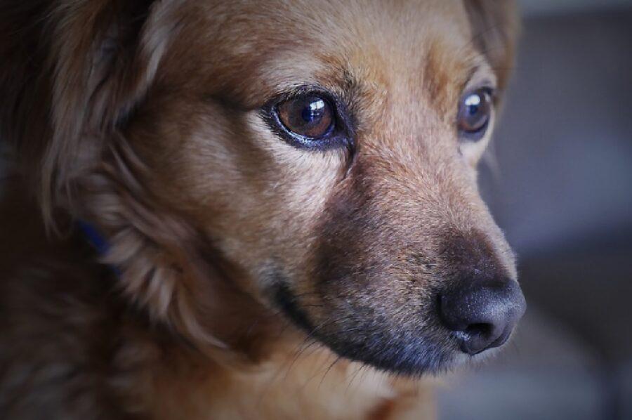 cane pelo chiaro sguardo triste