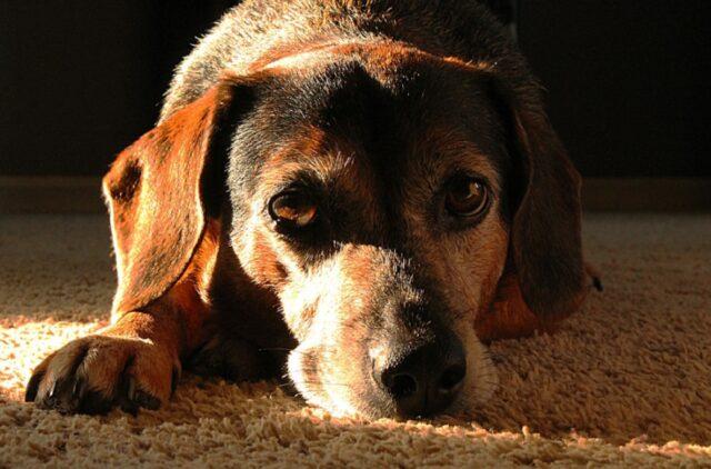 cane si distende su tomba rispetto