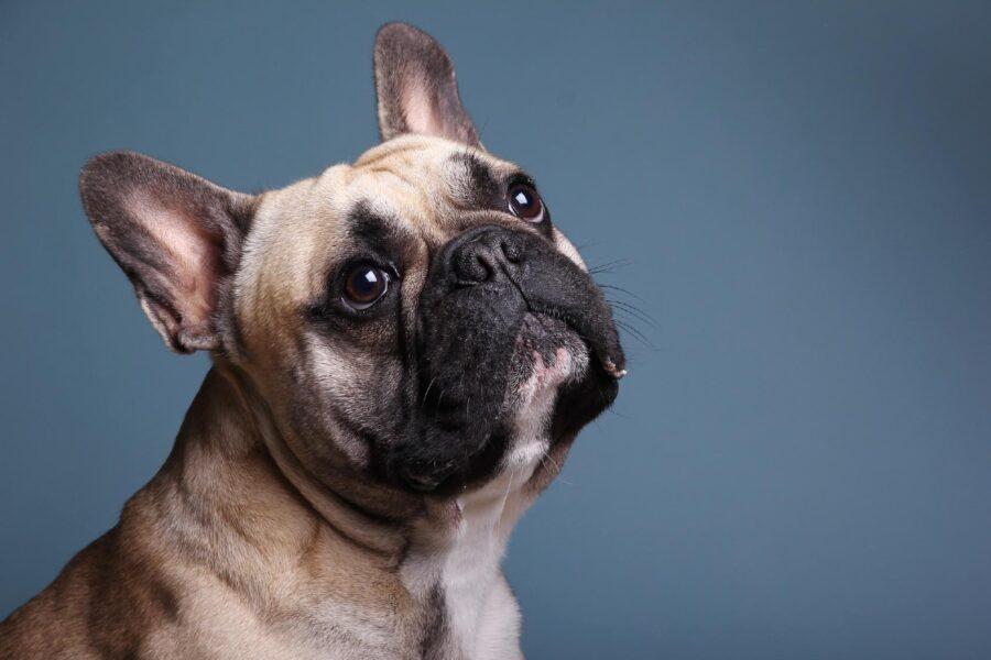 cane con muso schiacciato