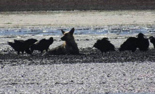 Cane nel fango con avvoltoi