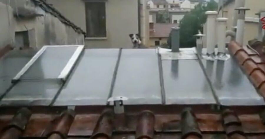 cane bloccato sui tetti di Firenze