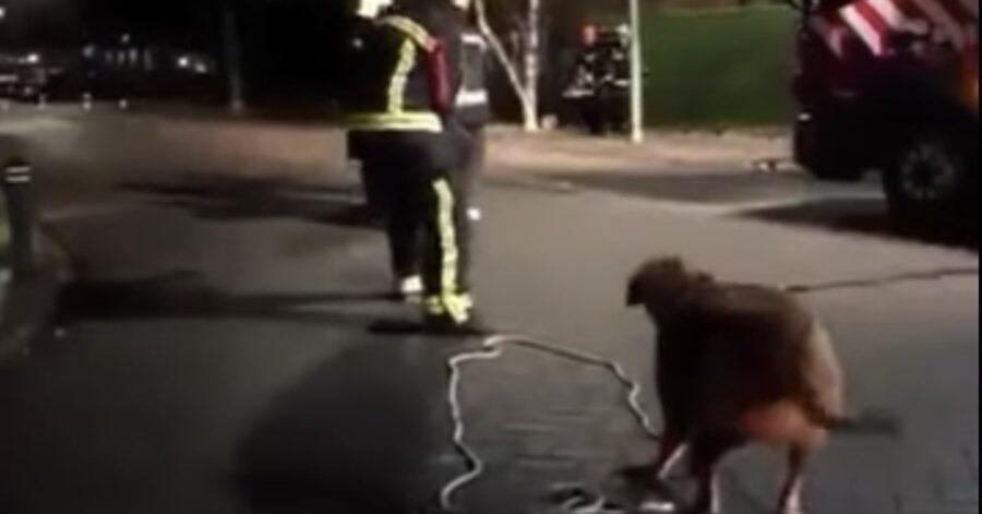 cane aiuta i pompieri a tirare una corda