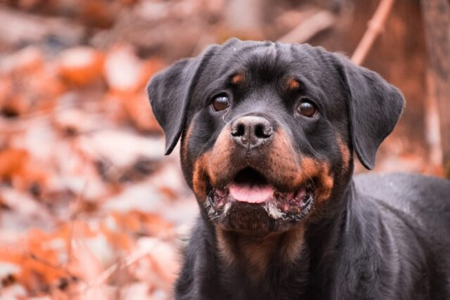 Rottweiler sfondo rosso