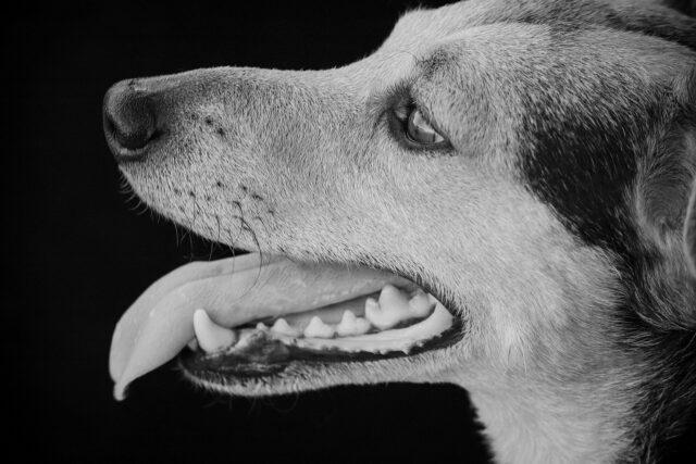 cane lingua di fuori