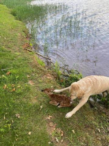 cane nuota nel lago con cerbiatto