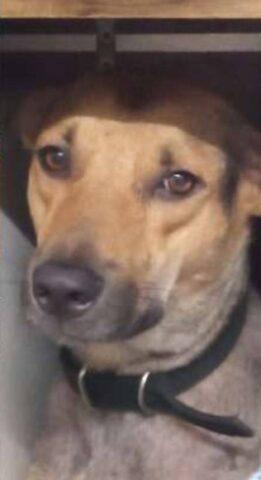 Muso di cane marrone