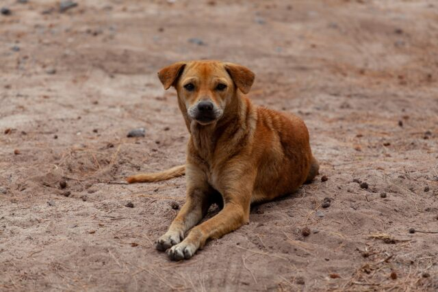 cane randagio marrone