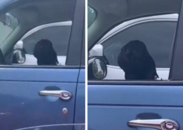cane nero in auto