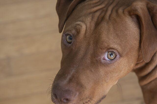 Pitbull marrone occhi tristi