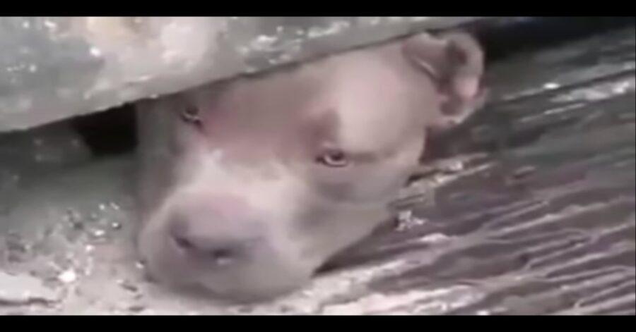 Pitbull triste testa che sbuca da una fogna