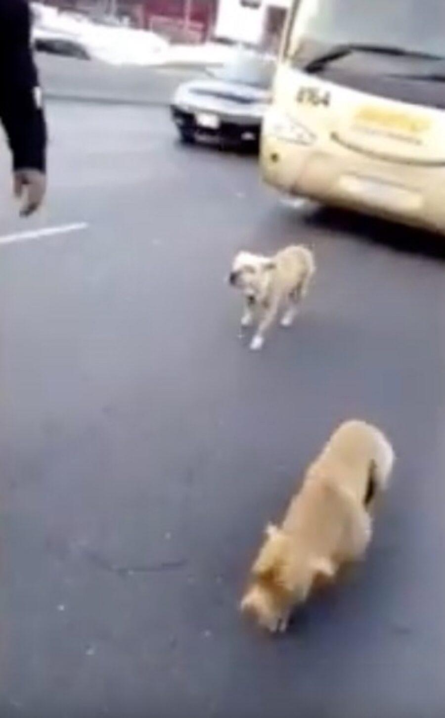 cani dorati sulla strada