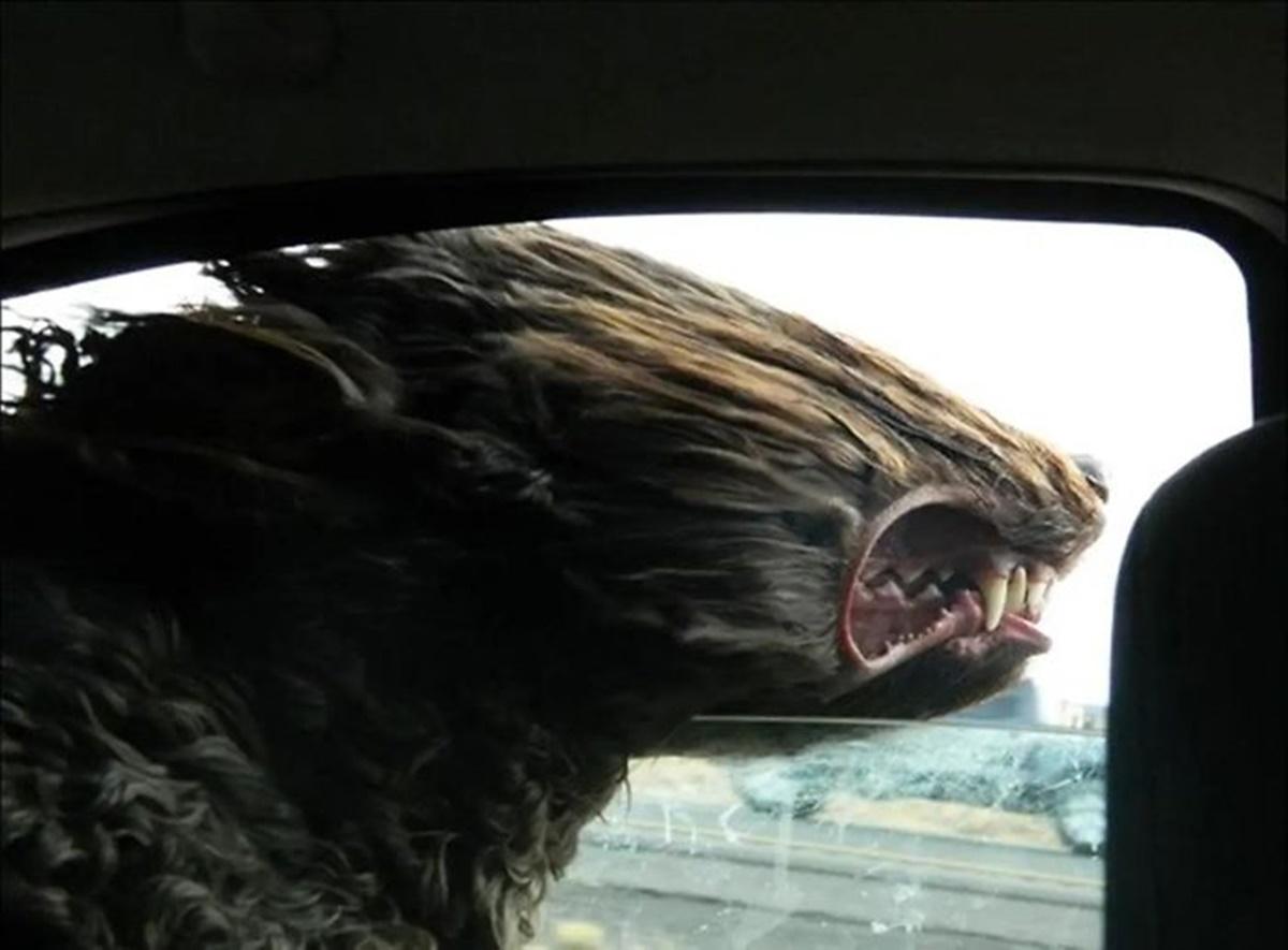 cane testa al vento