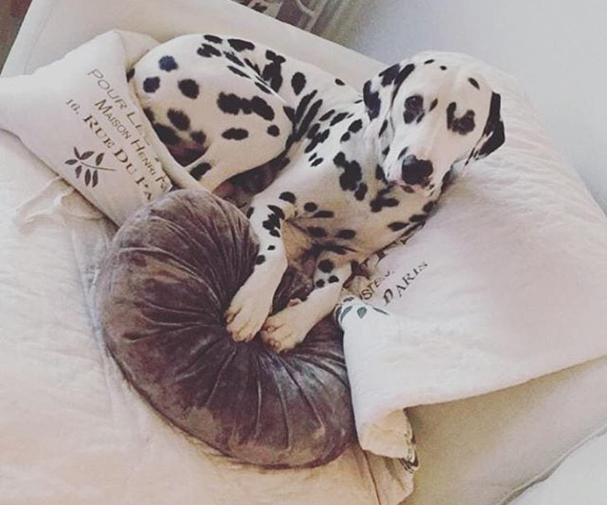 dalmata su cuscino
