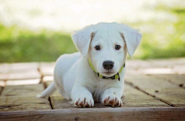 cucciolo bianco tenero