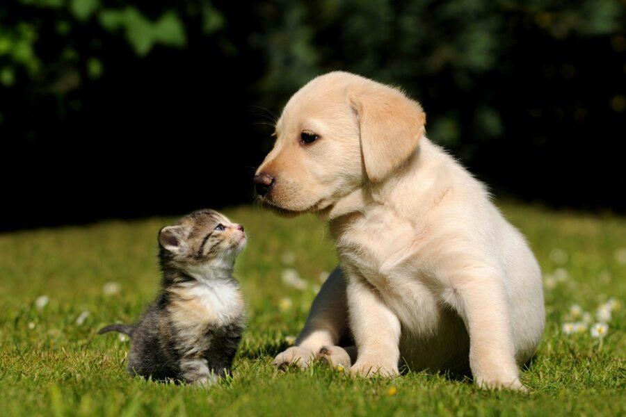 cucciolo di golden retriever e di gatto