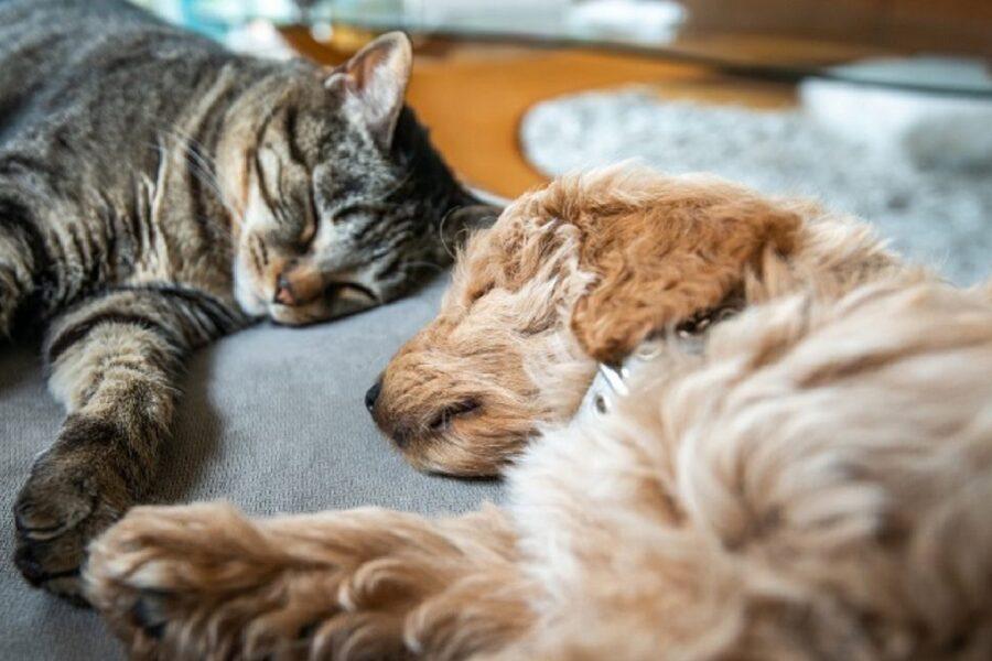 cucciolo a pelo lungo dorme con un gatto