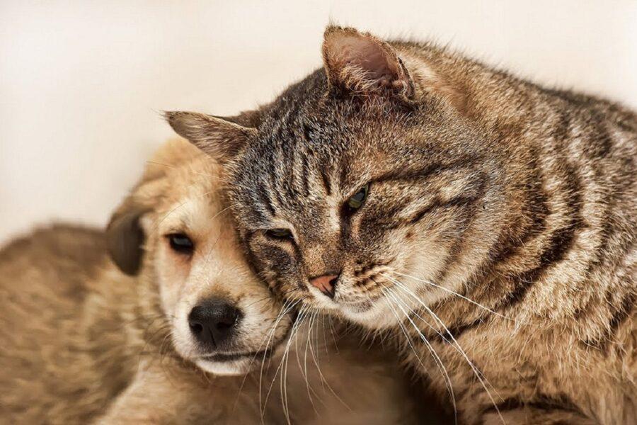 cagnolino con gatto adulto