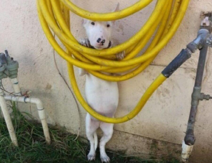 cane bianco con tubi gialli