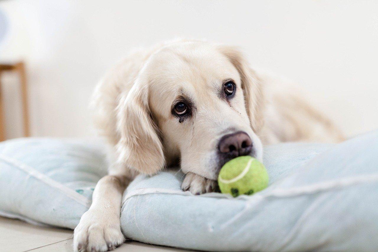 cane sdraiato con pallina