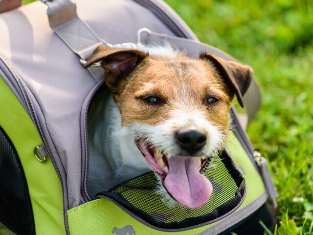 cane pronto per partire