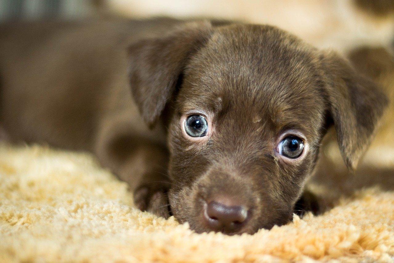 cagnolino occhi bellissimi