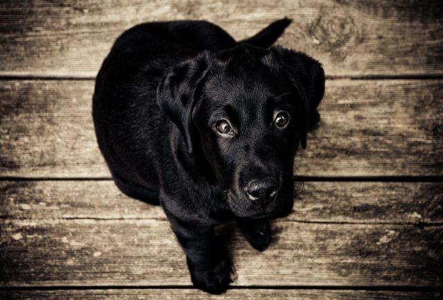 cane nero occhi belli