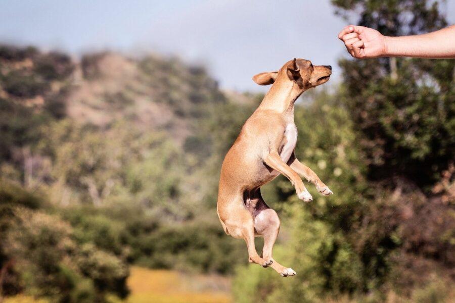cane che salta verso il proprietario