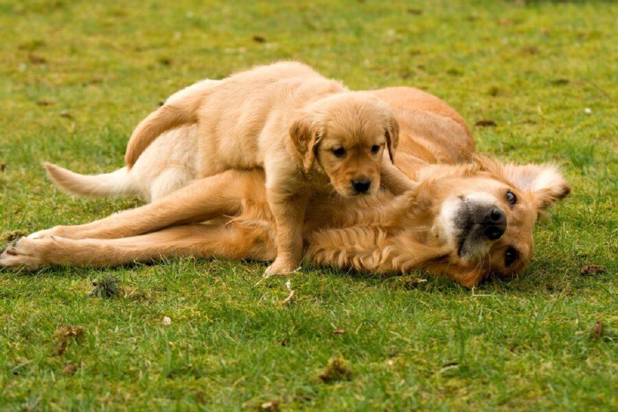due cani giocano all'aperto