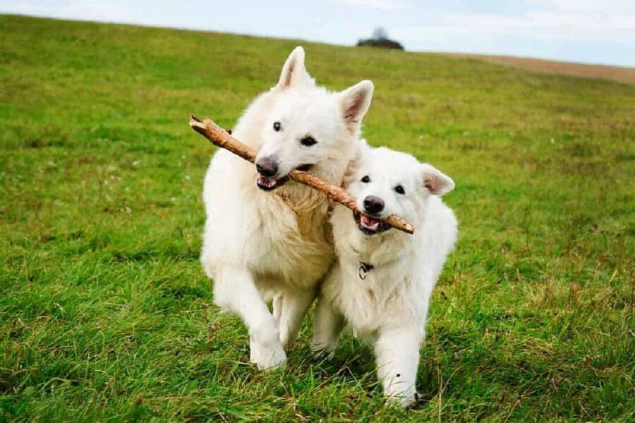 due cani giocano con un bastone
