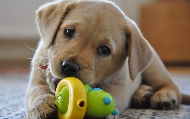 cucciolo di Labrador morde un giocattolo colorato