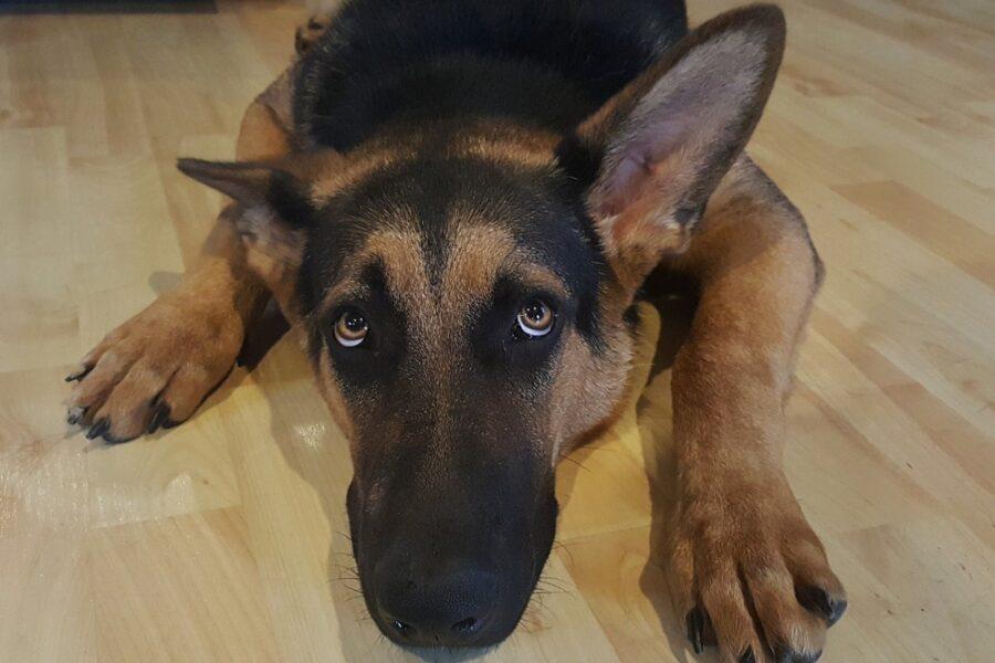 cucciolo che guarda